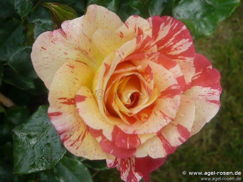 malerrose 39 alfred sisley 39 floribunda rose buy at. Black Bedroom Furniture Sets. Home Design Ideas