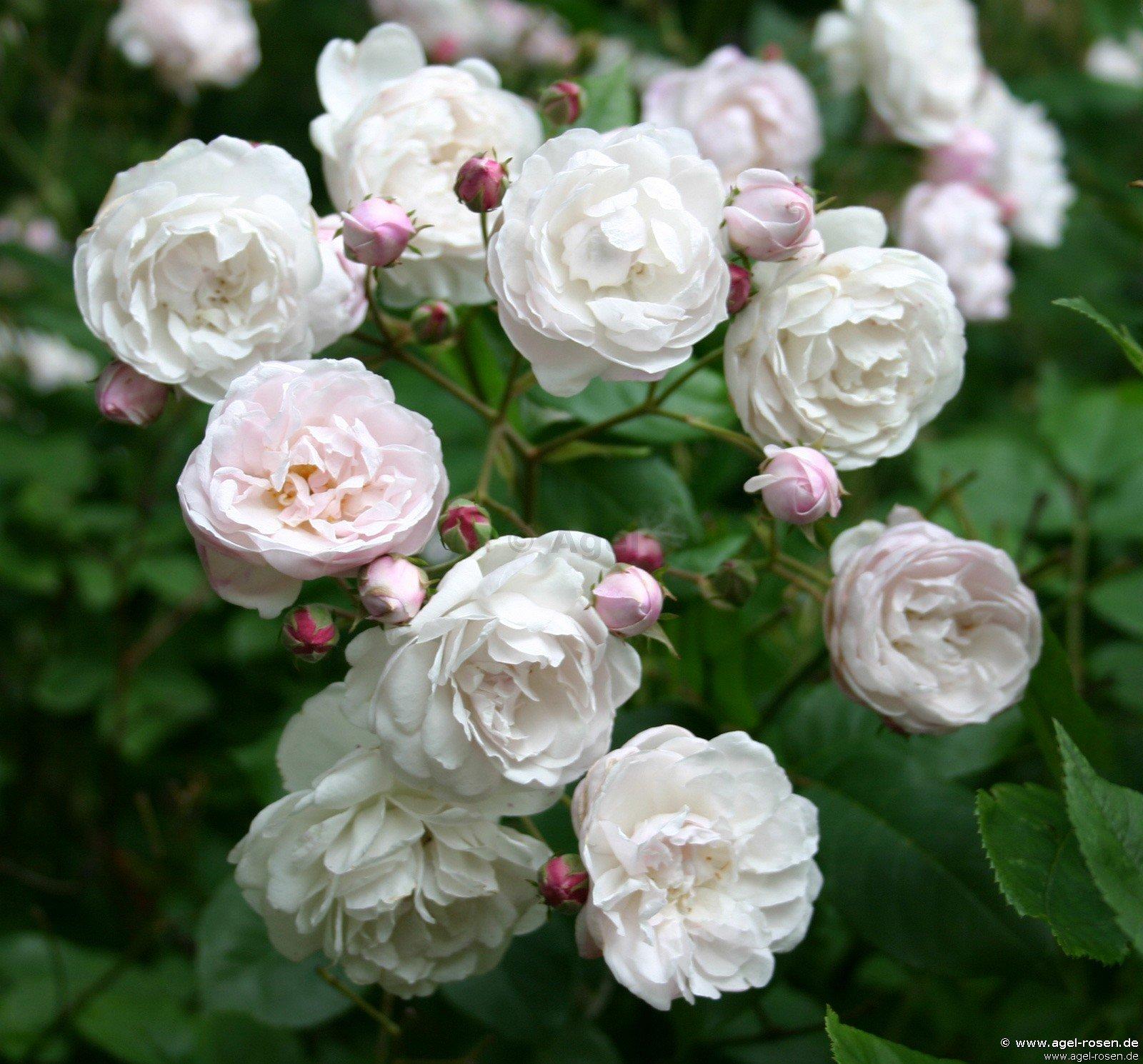 champneys 39 pink cluster noisette rose buy at agel rosen. Black Bedroom Furniture Sets. Home Design Ideas