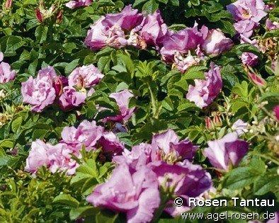 foxi pavement rosa rugosa foxi rosa rugosa buy at agel rosen. Black Bedroom Furniture Sets. Home Design Ideas